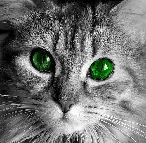 Silver Tabby With Blue Eyes | www.imgkid.com - The Image ...